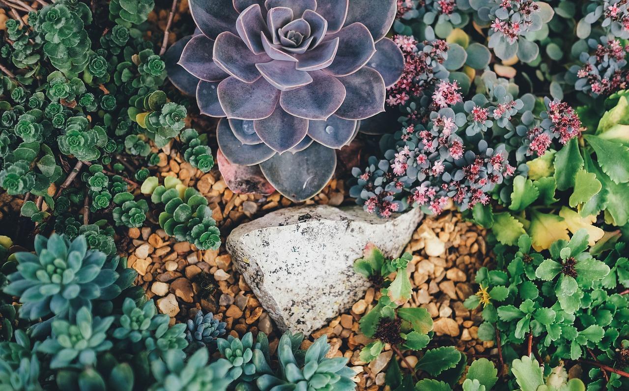Jak sadzić sukulenty? Odmiany i sadzenie.
